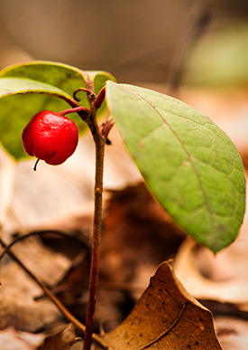 Wintergreen plant in forest