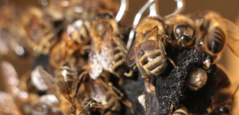 Honey Bees Would Rather Eat Than Sting