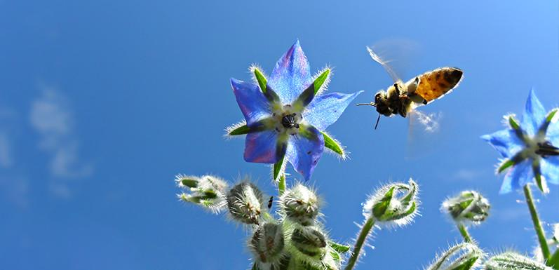 Save the Bee, Because They Pollinate Most of What We Ate This Week!