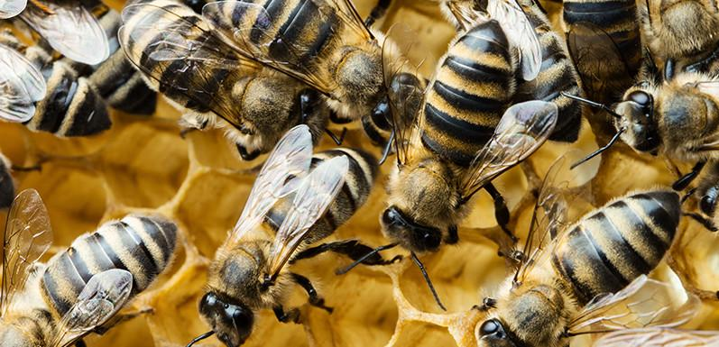 Steady Decline in Honey Crop Raises Concerns for Honey Bees' Future